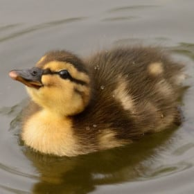 What To Do If You Find A Duckling