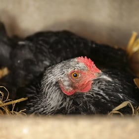 Do Chickens Get Sad When You Take Their Eggs?