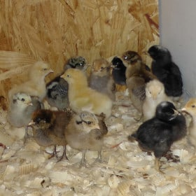 What Is Needed To Start Raising Chickens?