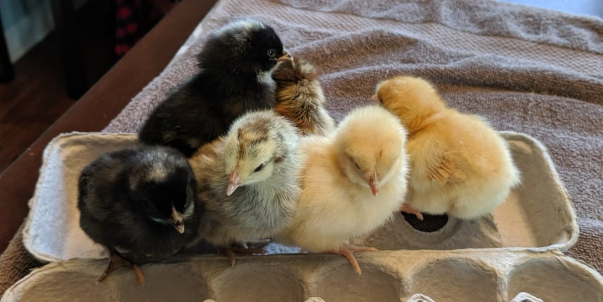 How Should Baby Chicks Act?