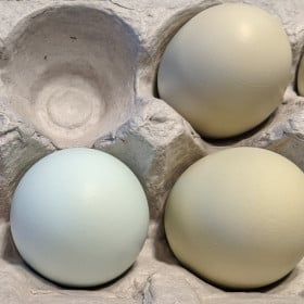 Can Chickens Lay Blue Eggs?